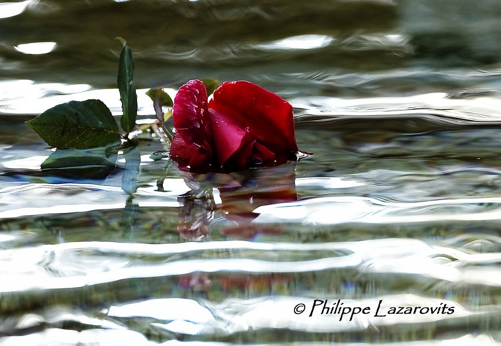 Reflet de rose