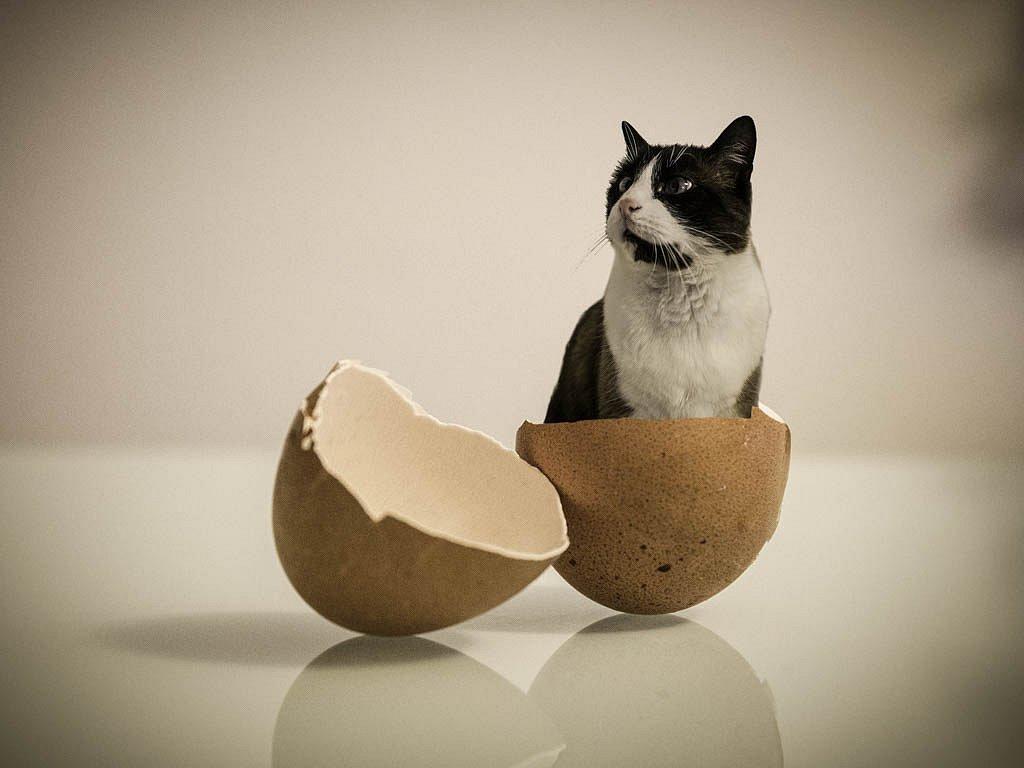 Les chats pondent des oeufs