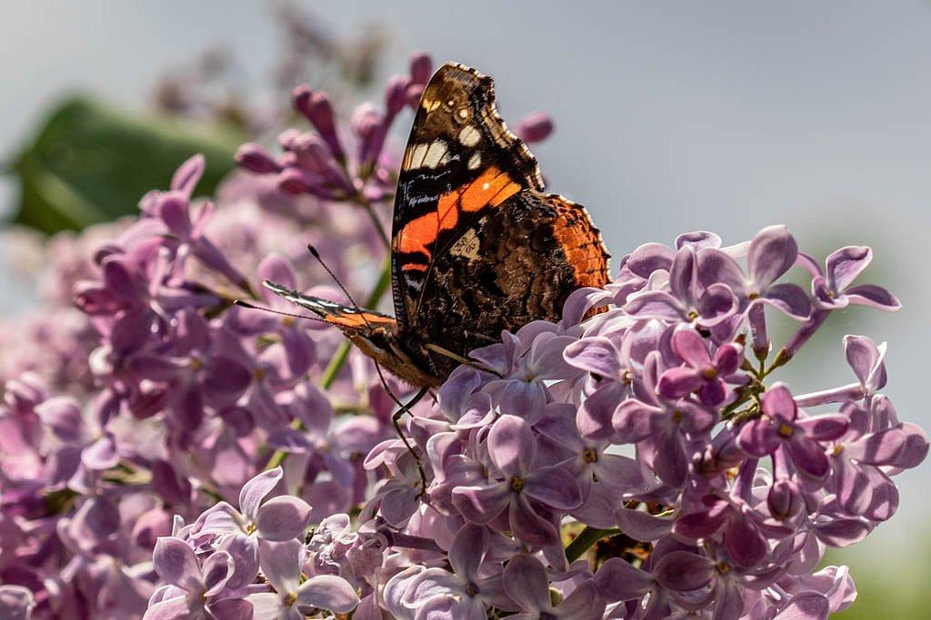 La reine des lilas