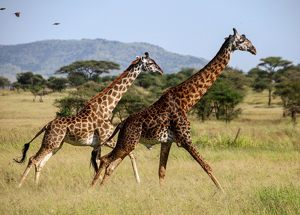 Danse des girafes